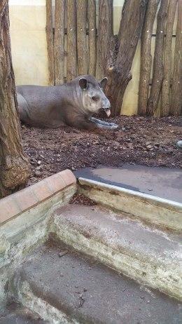 Der Tapir beobachtet alles gespannt.